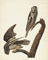 Pl 378 Hawk Owl Fine Art Print