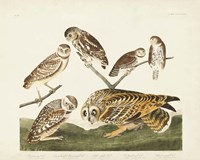 Pl 432 Burrowing Owl Fine Art Print