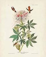 Pl 379 Ruff-necked Hummingbird Fine Art Print
