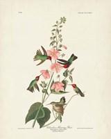 Pl 425 Columbian Hummingbird Fine Art Print