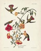 Pl 184 Mango Hummingbird Fine Art Print