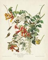 Pl 47 Ruby-throated Hummingbird Fine Art Print