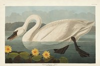 Pl 411 Common American Swan Fine Art Print