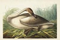 Pl 376 Trumpeter Swan Fine Art Print