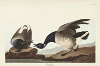 Pl 391 Brant Goose Fine Art Print
