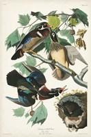 Pl 206 Wood Duck Fine Art Print
