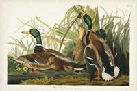 Pl 221 Mallard Duck Fine Art Print