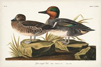 Pl 228 Green-winged Teal Fine Art Print
