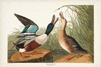 Pl 327 Shoveller Duck Fine Art Print