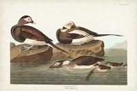 Pl 312 Long-tailed Duck Fine Art Print