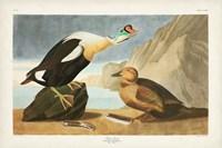 Pl 276 King Duck Fine Art Print