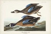 Pl 313 Blue-winged Teal Fine Art Print