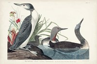 Pl 202 Red-throated Diver Fine Art Print