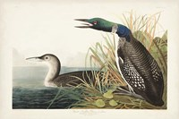 Pl 306 Great Northern Diver or Loon Fine Art Print