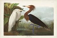 Pl 256 Purple Heron Fine Art Print