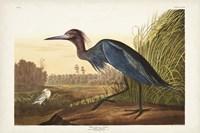 Pl 307 Blue Crane or Heron Fine Art Print