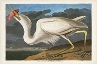 Pl 281 Great White Heron Fine Art Print