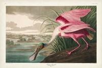 Pl 321 Roseate Spoonbill Fine Art Print
