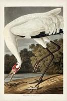 Pl 226 Hooping Crane Fine Art Print
