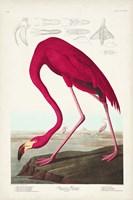 Pl 431 American Flamingo Fine Art Print