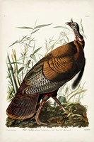 Pl 1 Wild Turkey Fine Art Print