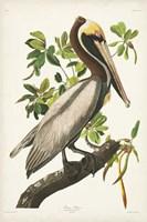 Pl 251 Brown Pelican Fine Art Print