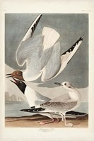 Pl 324 Bonapartian Gull Fine Art Print