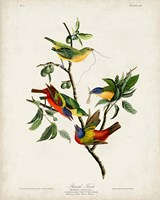 Pl 53 Painted Finch Fine Art Print