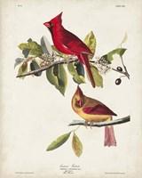 Pl 158 Cardinal Grosbeak Fine Art Print