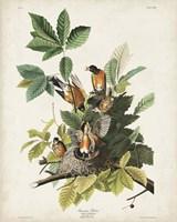 Pl 131 American Robin Fine Art Print
