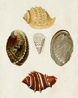 Knorr Shells IV Fine Art Print