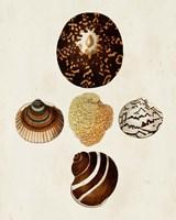 Knorr Shells V Fine Art Print