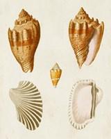 Knorr Shells VII Fine Art Print