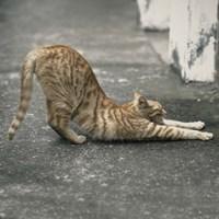 Cat Yoga VIII Fine Art Print