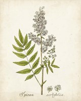 Antique Herb Botanical III Fine Art Print
