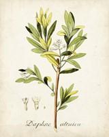Antique Herb Botanical IV Fine Art Print