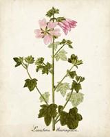 Antique Herb Botanical V Fine Art Print