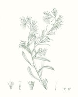Botanical Study in Sage II Framed Print