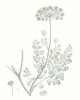 Botanical Study in Sage V Framed Print