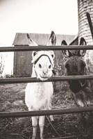 Donkeys Fine Art Print