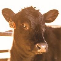 Baby Cow I Fine Art Print