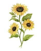 Sunflower Trio II Framed Print