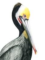 Watercolor Pelican I Fine Art Print