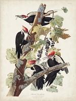 Pl. 111 Pileated Woodpecker Fine Art Print