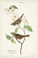 Pl.8 White-throated Sparrow Fine Art Print