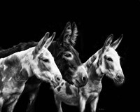 Donkey Portrait II Fine Art Print