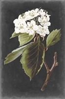 Dramatic White Flowers I Fine Art Print