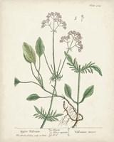 Antique Herbs VI Fine Art Print