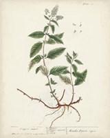 Antique Herbs VII Fine Art Print