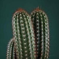 Cacti V Framed Print